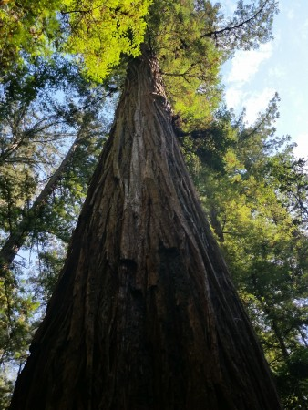 Armstrong Redwoods State Natural Reserve 11