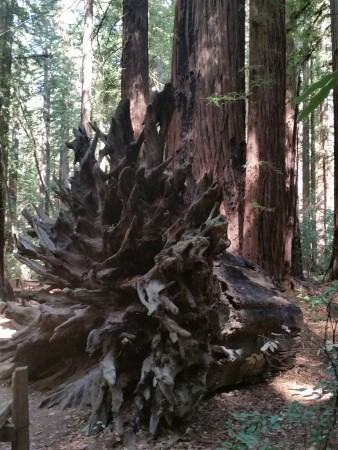 Armstrong Redwoods State Natural Reserve 22