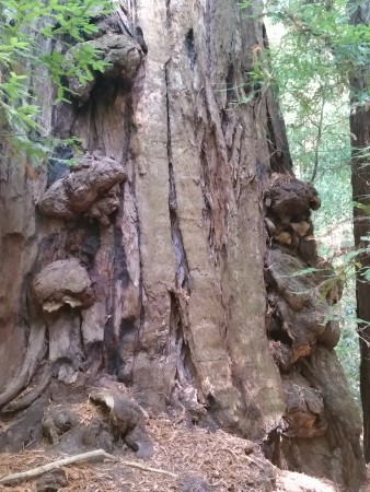 Armstrong Redwoods State Natural Reserve 29